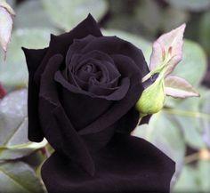 Heirloom 100 Seeds Deep Purple Maroon Rose Garden Roses RARE Double Perennial Flower B3018. $1.59, via Etsy.