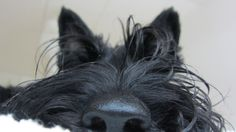 """the Scottie nose! My husband used to call my mom's Scottie """"little big nose""""."""