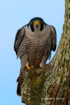Peregrine Falcon (by Sandeep Dutta)