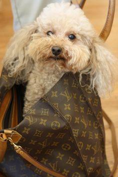 poodles and Louis Vuitton