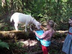 pygmy goats.