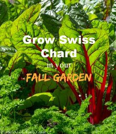 Grow Swiss Chard in Your Fall Garden. I'm so excited to grow a fall garden this year and increase our growing season. Great tips on sowing s...