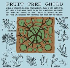 Fruit Tree Guild - Saffron Russell   Illustration and Design