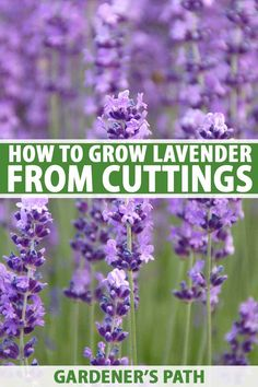 Lavender is a versatile and beautiful herb used extensively in the garden, the kitchen, and for its fragrant dried flowers. Propagation by seed is slow and unreliable but stem cuttings give great results. Head to Gardener's Path for all the info you need on how to grow lavender from cuttings. #lavender #gardenerspath
