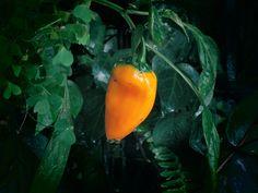 Aji Amarillo ist eine beliebte peruanische Chilisorte mit etwa 5.000 Scoville. Bereits die Inkas schätzten ihre leuchtenden, gelben Chilis. Mehr Infos zur Anzucht, Verarbeitung, Rezept und Schärfegrad, zu der aus Südamerika stammende Chili, erfahren Sie hier.