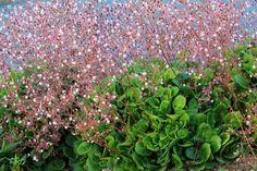 Saxifraga x urbium (London Pride) London Pride Plant, Shade Garden, Garden Plants, Alpine Plants, Ground Cover Plants, Public Garden, Plant Nursery, Flower Seeds, Garden Inspiration