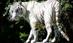 rare-white-tiger-looking-back-preview.jpg (980×581)