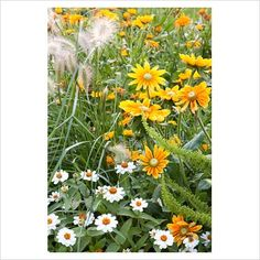 zinnia angustifolia 'profusion white', rudbeckia hirta 'prairie sun', pennisetum villosum and chenopodium botrys 'ambrosia mexicana'
