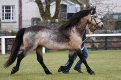 Connemara- ponies we saw in Ireland