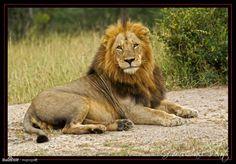 Panthera leo (Rasta)
