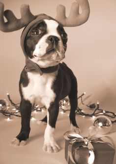 festive #bostonterrier