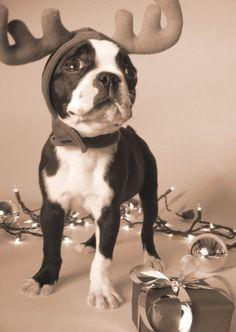 festive boston terrier