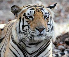 Handsome male tiger