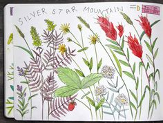 Silverstar Mountain Wildflowers
