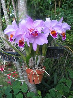 Orchids :) Beautiful cattleya orchid in clay pot on a tree... You can secure the potted plant with hangapot hangers which can be wired or cable tied to a tree.
