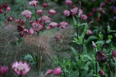 Bronze fennel and astrantia (one of my favourite plants).