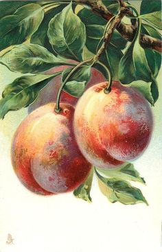three peaches hanging from branch