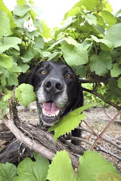 dogs on the vineyard | ... vineyard and home to one of the happiest Wine Dogs in…