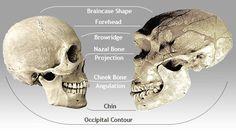 Anatomical comparison of the skulls of Homo sapiens sapiens (modern humans) and Homo neanderthalensis (right)