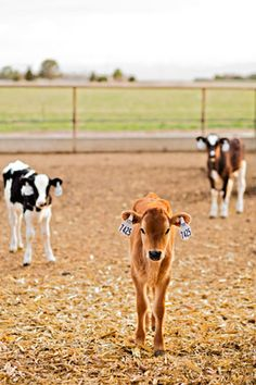 dairy cows have babies all the time! Else there wouldn't be any milk for calves nor people. Vegan Animals, Farm Animals, Animals And Pets, Cute Animals, Show Cattle, Cute Creatures, Animal Welfare, Livestock, Farm Life