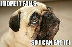 The #truth about #pugs!  ・・・ www.jointhepugs.com ・・・ #pugpower #pugsnotdrugs #pugpuppy #puglover #dogs #cuteness #pugs #pugoftheday