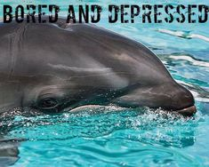 "Dolphins have been known to slam themselves against the sides of their tanks concrete walls. Sadly, marine parks don't offer emotional counseling services for their ""much-loved"" captive dolphins."