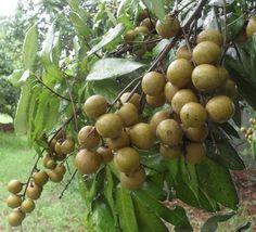 Longan fruits on tree