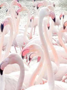Amaying wildlife. Pink flamingos photo