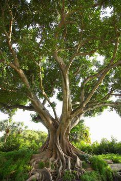 Known as the Bhodi tree, or the sacred fig, Ficus religiosa trees are often grown as ornamentals. Ficus religiosa is a type of banyan tree native to India, China and Southeast...