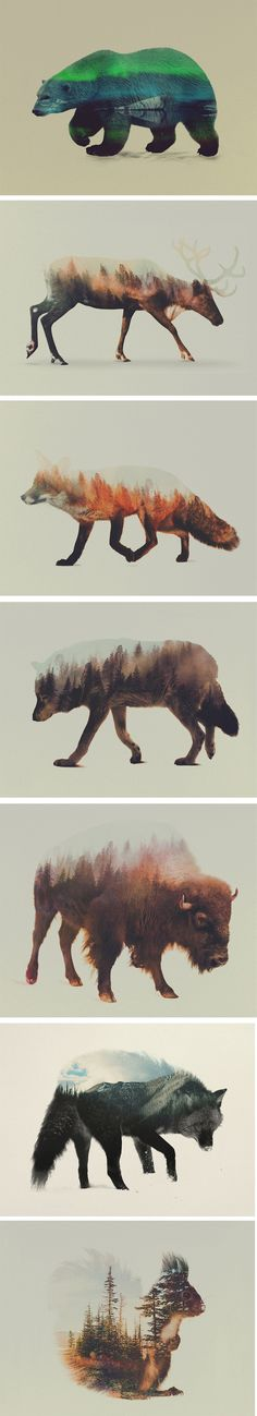 Norwegian visual artist Andreas Lie merges verdant landscapes and photographs of animals to creates subtle double exposure portraits. Snowy mountain peaks and thick forests become the shaggy fur of wolves and foxes, and even the northern lights appear through the silhouette of a polar bear. Lie is undoubtedly influenced by his surroundings in Bergen, Norway, a coastal city surrounded by seven mountains.
