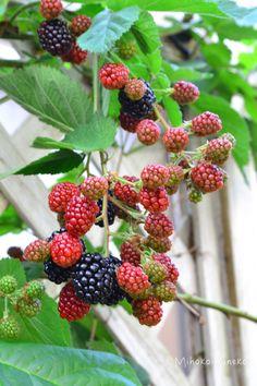 ブラックベリーの育て方!実がなる仕組み、植え付け、誘因、剪定まで   LOVEGREEN(ラブグリーン) Raspberry, Strawberry, Flora Flowers, Cafe Food, Berries, Fruit, Plants, Gardening, Gardens