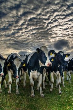 Cows in Sundown: