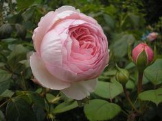 Geoff Hamilton rose | Rosa Geoff Hamilton is now flowering again as are most of the other ...