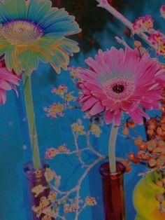 Gerber Daisy Impression 2011-2