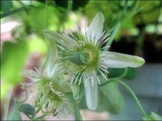 Passiflora gracilis (Passiebloem): beschrijving, verzorging & vermeerdering.