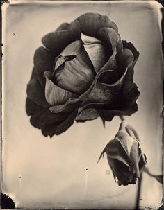 Tom Baril - Red Rose with Bud