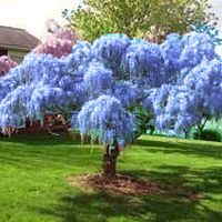 Blue Chinese Wisteria - Tree Form - as a stencil for my cabinets. Blue Chinese Wisteria - Tree Form - as a stencil for my cabinets. Live Plants, Flowering Trees, Live Tree, Ornamental Trees, Plants, Wisteria Tree, Planting Flowers, Garden Trees, Beautiful Tree