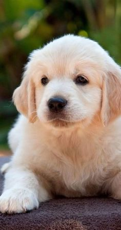 Dog Breeds Golden retriever puppy More Cute Baby Dogs, Cute Dogs And Puppies, Pet Dogs, Pets, Doggies, Lab Puppies, Retriever Puppy, Dogs Golden Retriever, Golden Retrievers