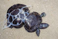 Edible Rings On Six-Packs Feed Marine Life If They End Up In The Ocean. (Huffington Post 18 May Ocean Pollution, Plastic Pollution, Save Our Earth, Save The Planet, Bbc News, Missouri, Slider Turtle, Save The Sea Turtles, Red Eared Slider