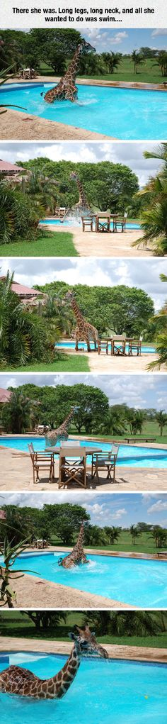 Monduli the giraffe goes for a swim...