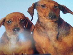 Pedigree Miniature Dachshunds puppies for sale. Dachshund