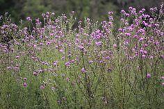 Prairie Moon Nursery: Cirsium muticum (Swamp Thistle)