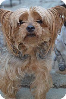 Brighton, TN - Yorkie, Yorkshire Terrier Mix. Meet Peter Brady (Local) a Dog for Adoption.
