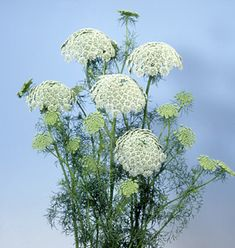 Check out the deal on Ammi Visnaga Casablanca seeds at Hazzard's Seeds List Of Flowers, Large Flowers, Cut Flowers, Garden Seeds, Planting Seeds, Garden Plants, Perennial Vegetables, Ornamental Grasses, Flower Seeds