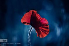Poppy ポピー  Aqeel Qureshi All Rights Reserved. Please do not use this image on websites blogs or any other media without explicit permission.