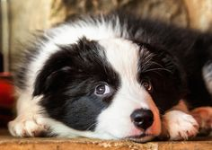 Ahhhh - you have to love Border Collies :)