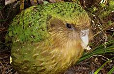 The endangered kakapo of New Zealand. Among the oldest species of birds, flightless, world's heaviest parrot, and has a subsonic mating boom that can travel several km.