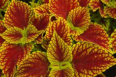Coleosaurus Coleus #Horticology #Coleus #ShadePlants #ShadeAnnuals #Gardening Shade Annuals, Partial Shade Plants, Gardening, Dreams, Vegetable Gardening, Front Gardens, Lawn And Garden, Horticulture