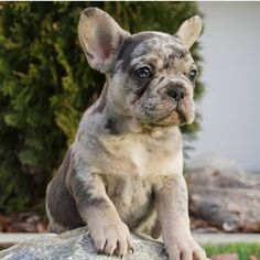 Check our Available puppies 👉🏾 Link in bio! Cute Bunny Pictures, Cute Animal Photos, Funny Animal Pictures, English Bulldog Puppies, Pug Puppies, Terrier Puppies, Cute Baby Animals, Animals And Pets, Cutest Babies Ever