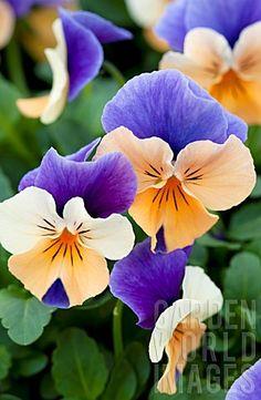 Viola Penny™ Peach Jump Up (Viola cornuta) - Gardening And Living